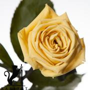 Долгосвежая роза - ЖЕЛТЫЙ ТОПАЗ (5 карат на коротком стебле) от 5 штук.