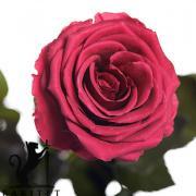 Долгосвежая роза - РОЗОВЫЙ КОРАЛЛ (5 карат на коротком стебле) от 5 штук.