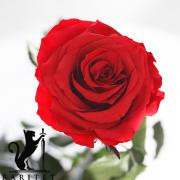 Долгосвежая роза - АЛЫЙ РУБИН (5 карат на коротком стебле) от 5 штук.