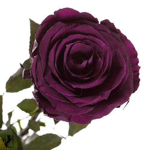 Долгосвежая роза - ФИОЛЕТОВЫЙ АМЕТИСТ (5 карат на коротком стебле) от 5 штук.