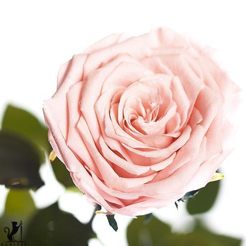 Долгосвежая роза - РОЗОВЫЙ ЖЕМЧУГ (5 карат на коротком стебле) от 5 штук.