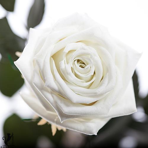 Долгосвежая роза - БЕЛЫЙ БРИЛЛИАНТ (5 карат на коротком стебле) от 5 штук.